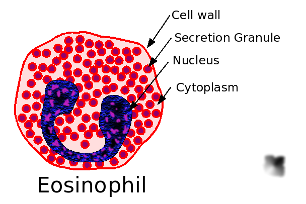 http://laboratoryscience.persiangig.com/20060124182845Eosinophil.png