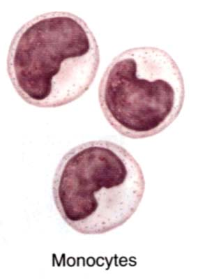http://laboratoryscience.persiangig.com/monocyte002.jpg