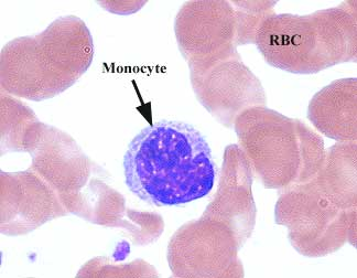 http://laboratoryscience.persiangig.com/monocyte_002.jpg