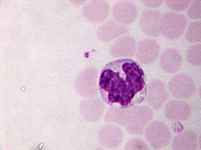 http://laboratoryscience.persiangig.com/monocyte_003.jpg